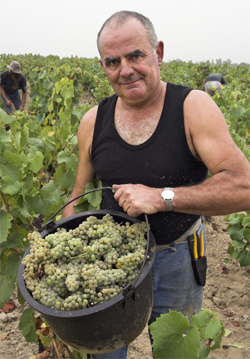 Guy Bossard of Domaine de l'Ecu picking Melon de Bourgogne grapes.