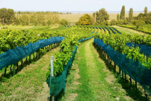 Gruner Veltliner Vineyard