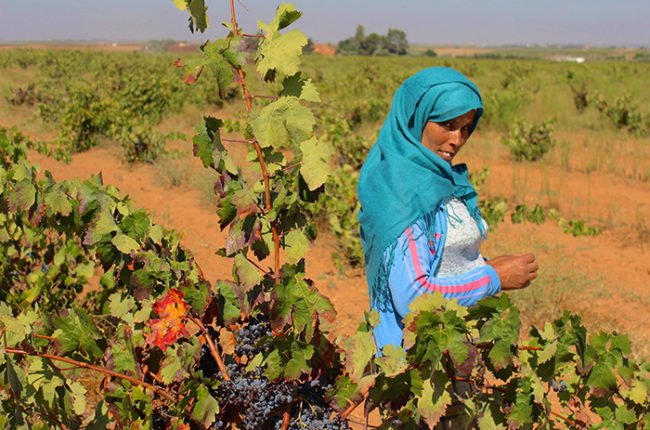 The vineyards at Ouled Thaleb / Photo courtesy Ouled Thaleb