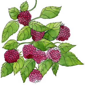 An Illustration of red berries.