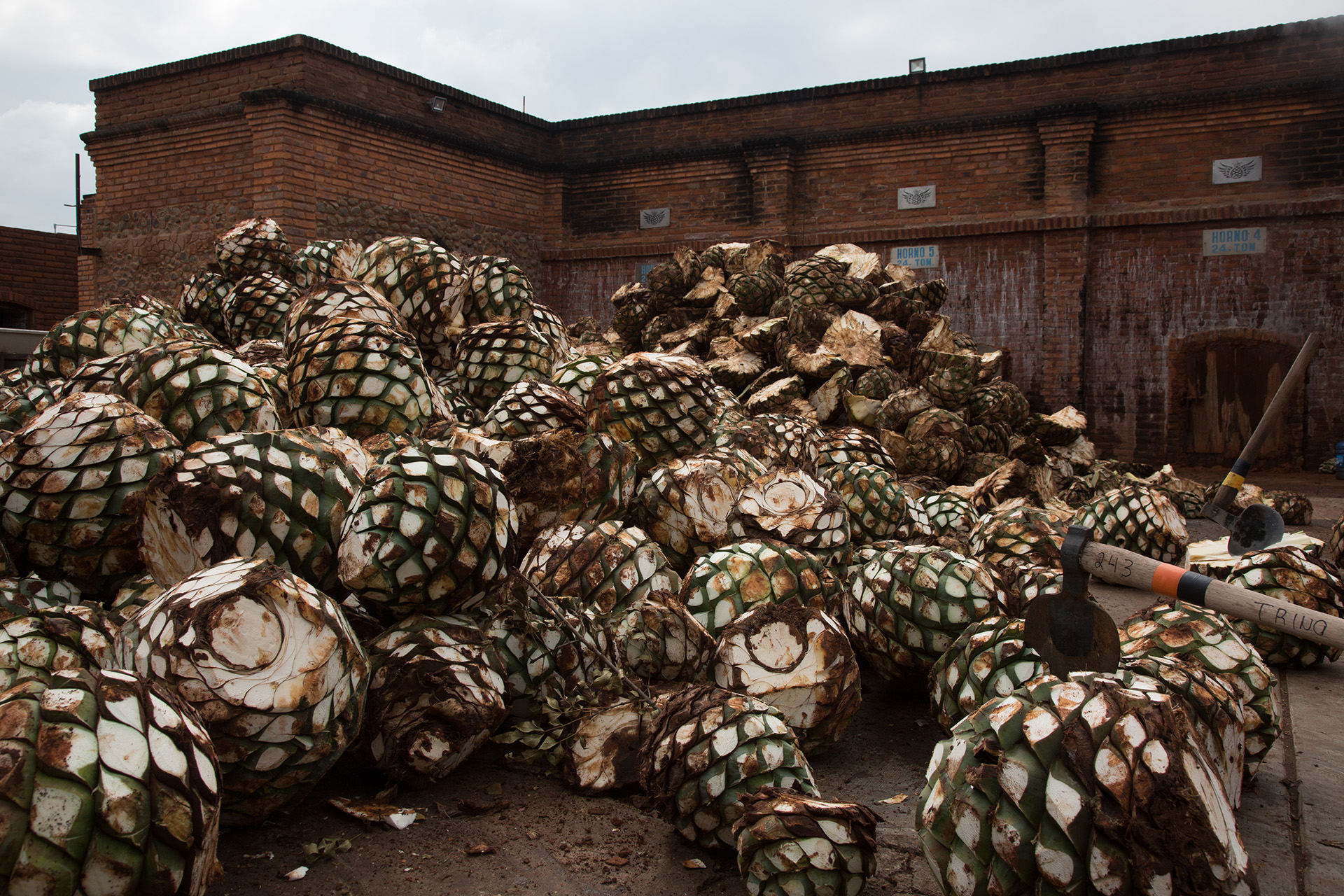Agave hearts, or piñas, after being harvested