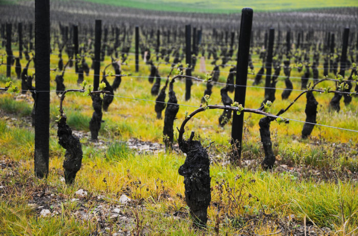 Vines in Sancerre