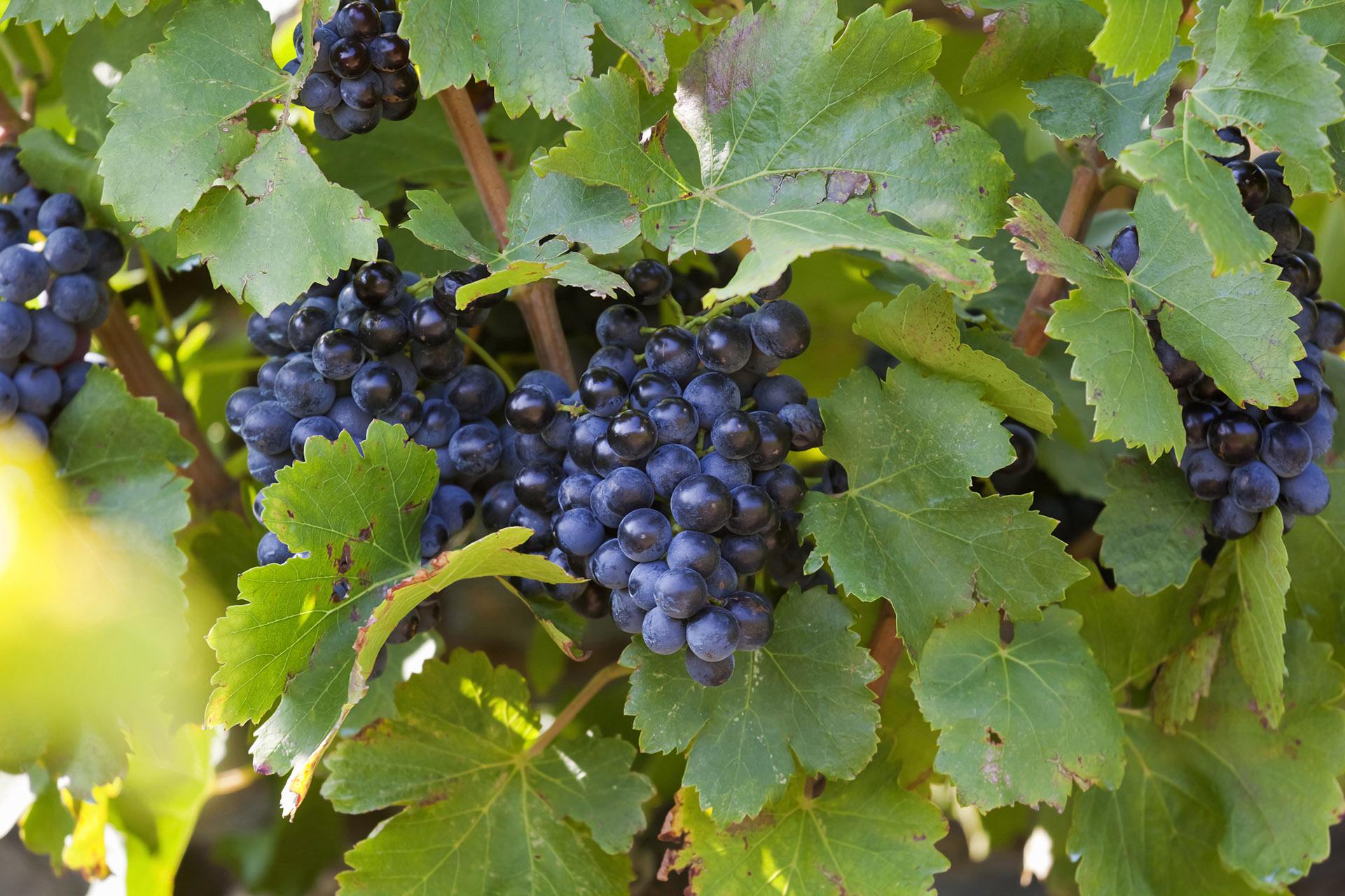 Grenache Grapes in Languedoc-Roussillon.