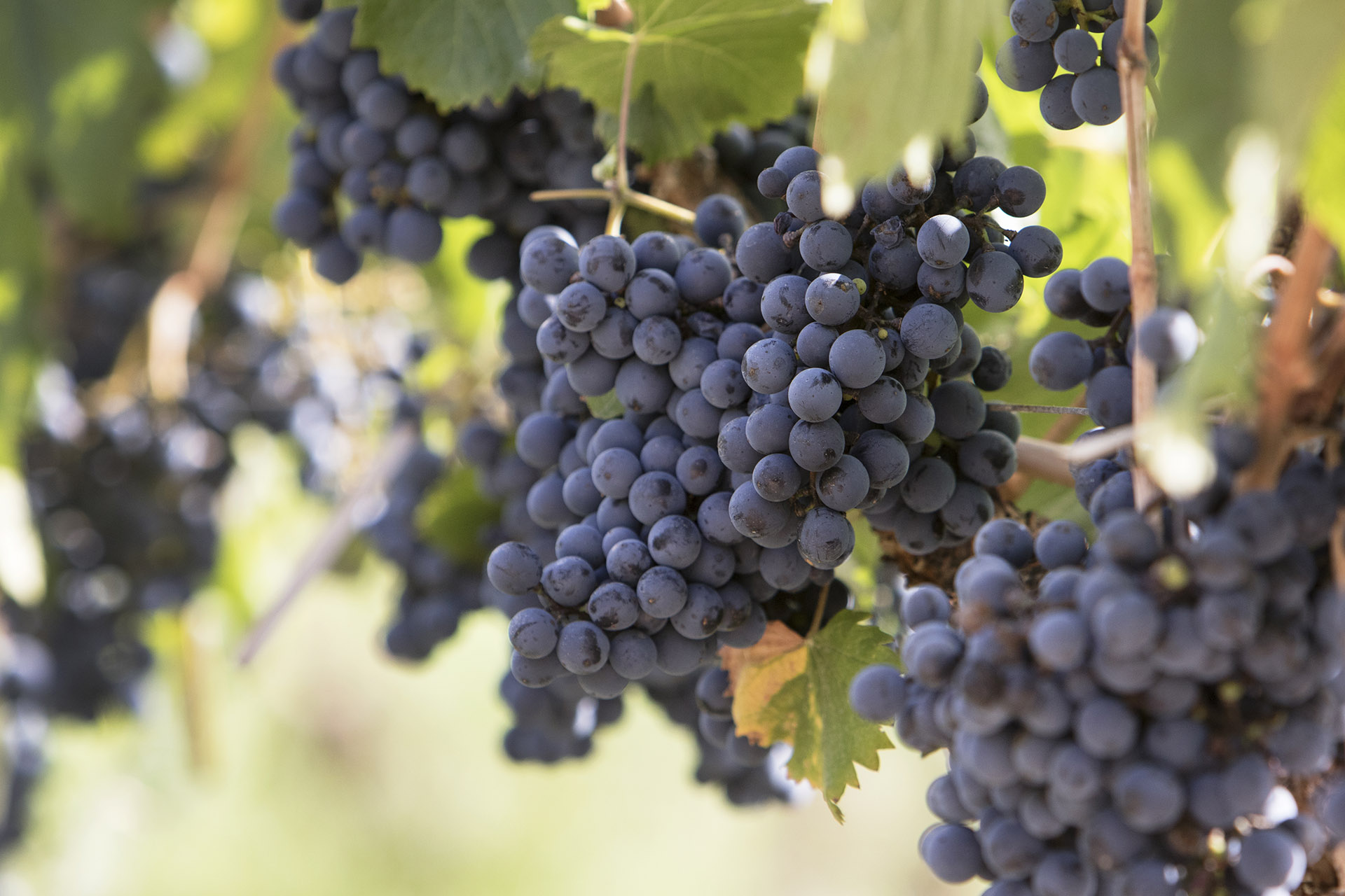 Malbec grapes in a vineyard in Mendoza, Argentina