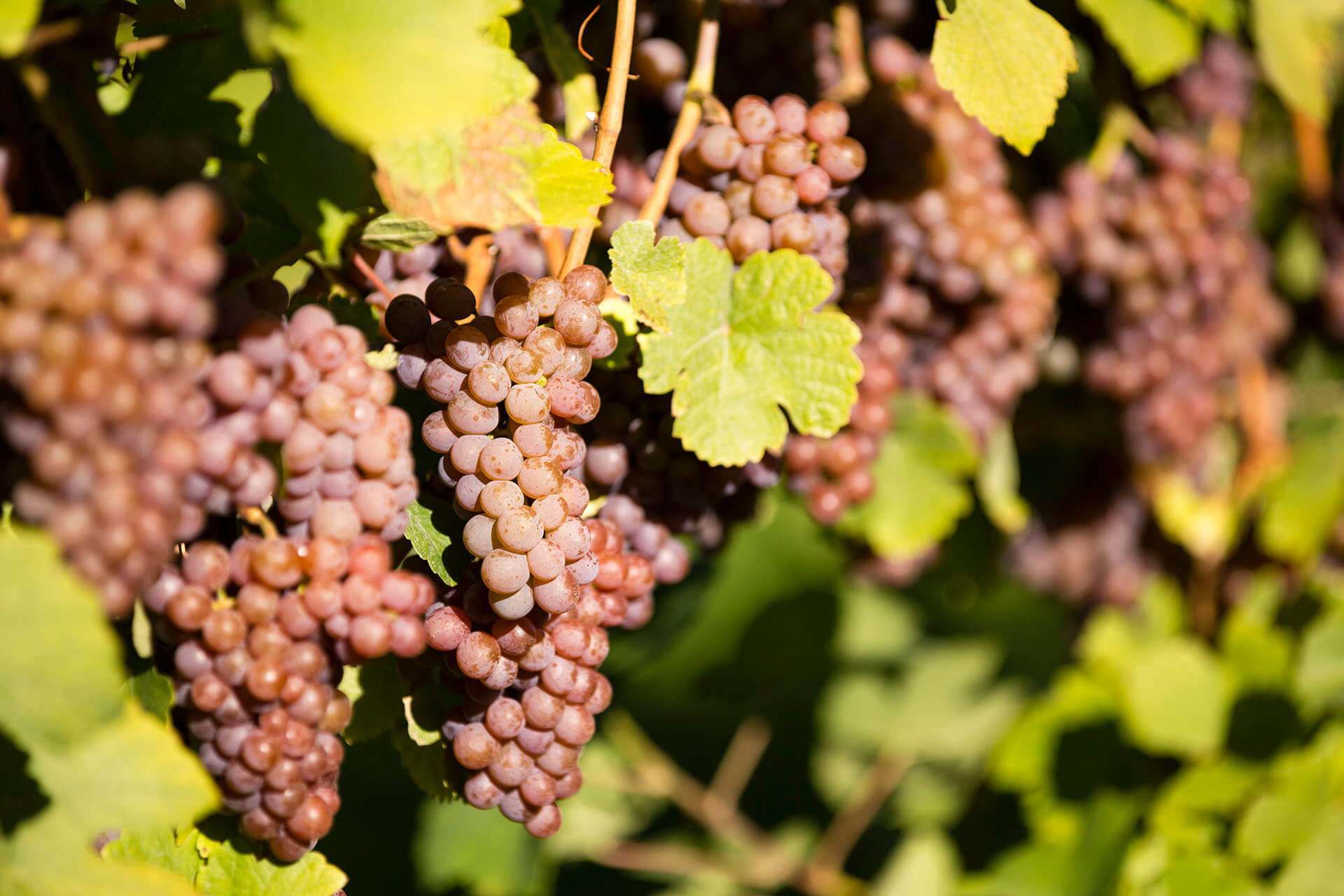 Pinot Gris Grapes on the Vine