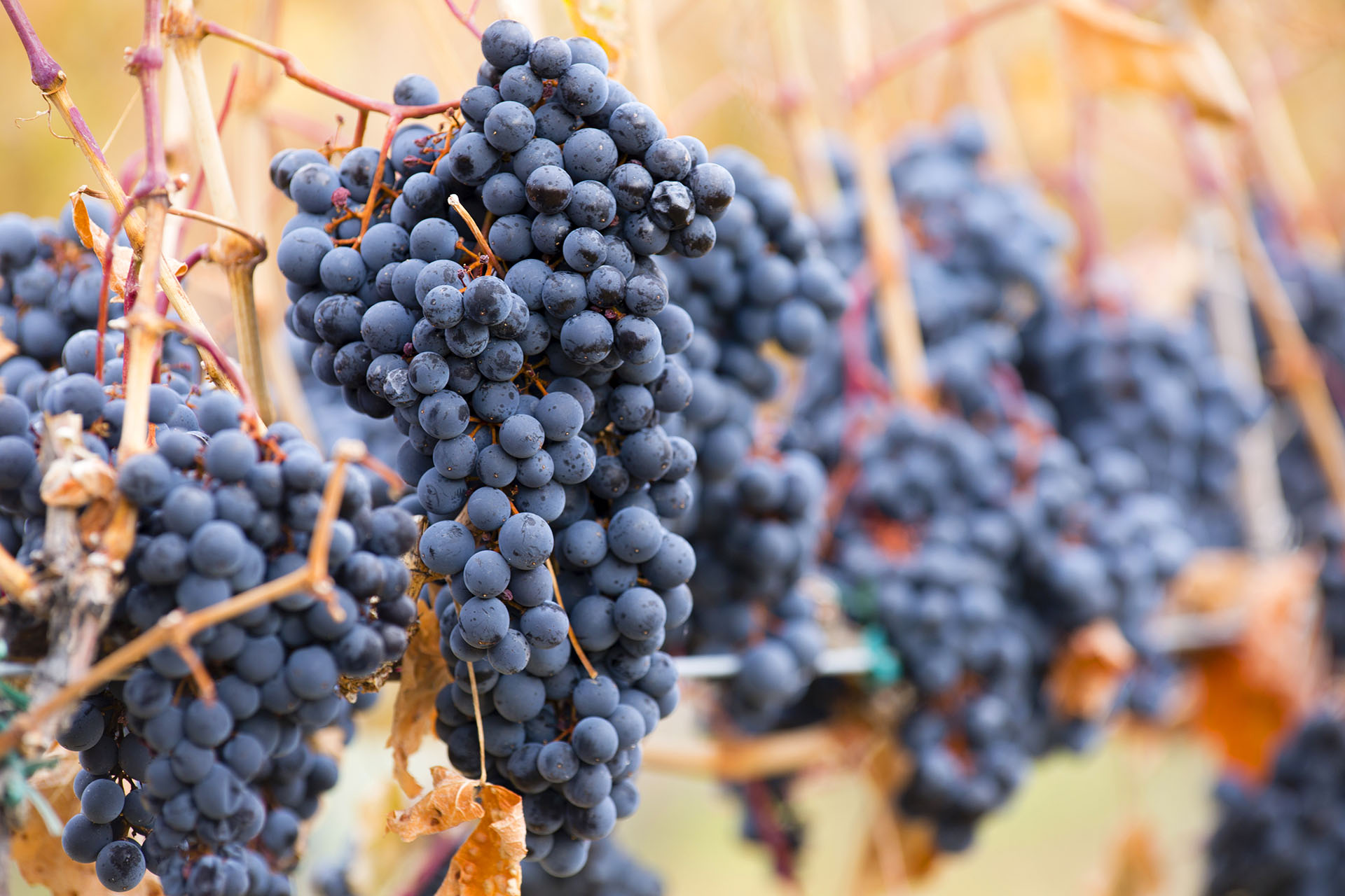 Syrah, also known as Shiraz, is a grape variety grown throughout the world.