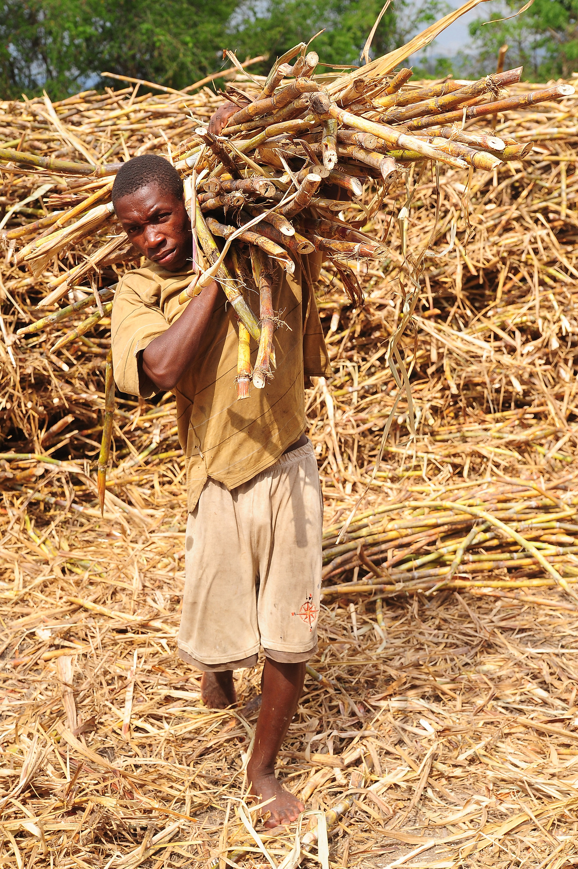 Man carrying hand-harvested sugarcane