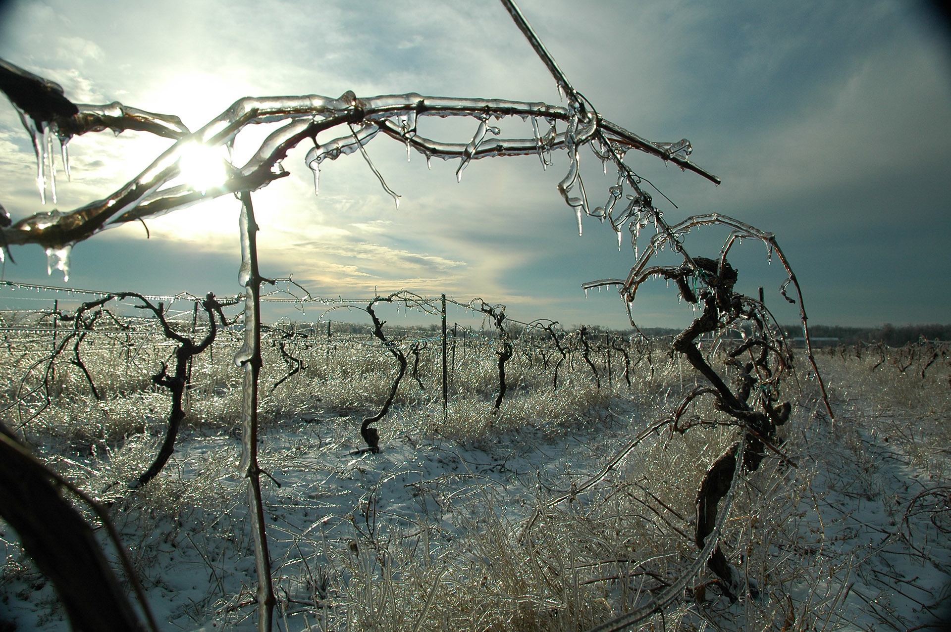 Frozen vines in the Niagara Wine Region