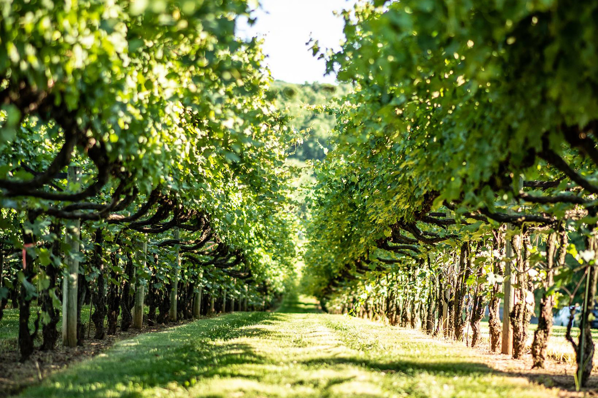 Among the vines at Horton Vineyards