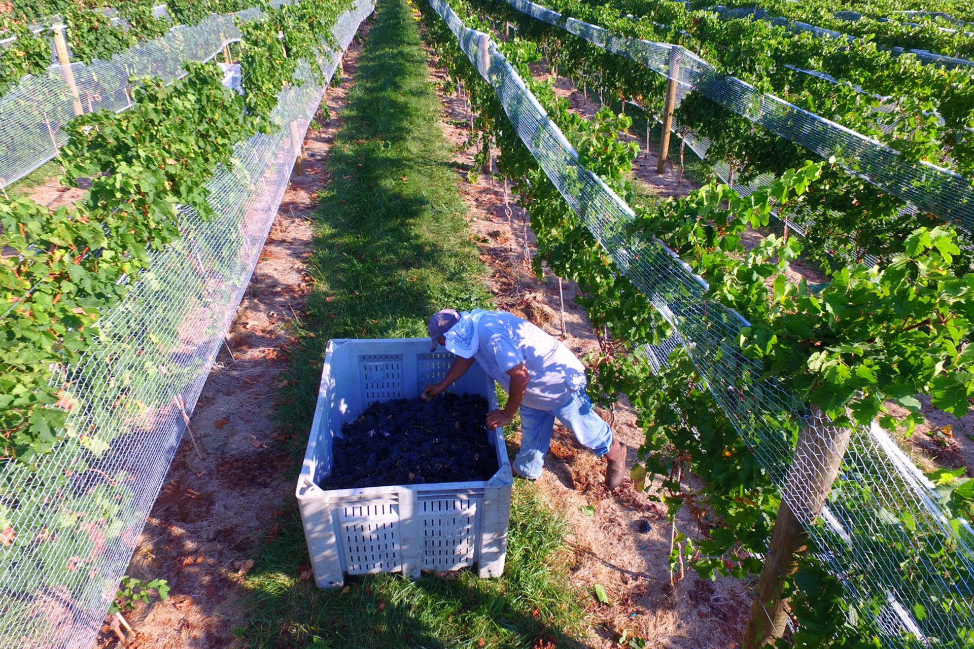 Harvest time at Michael Shaps Wineworks