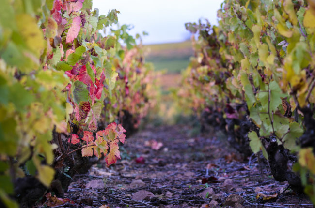 Beaujolais vineyard in the fall