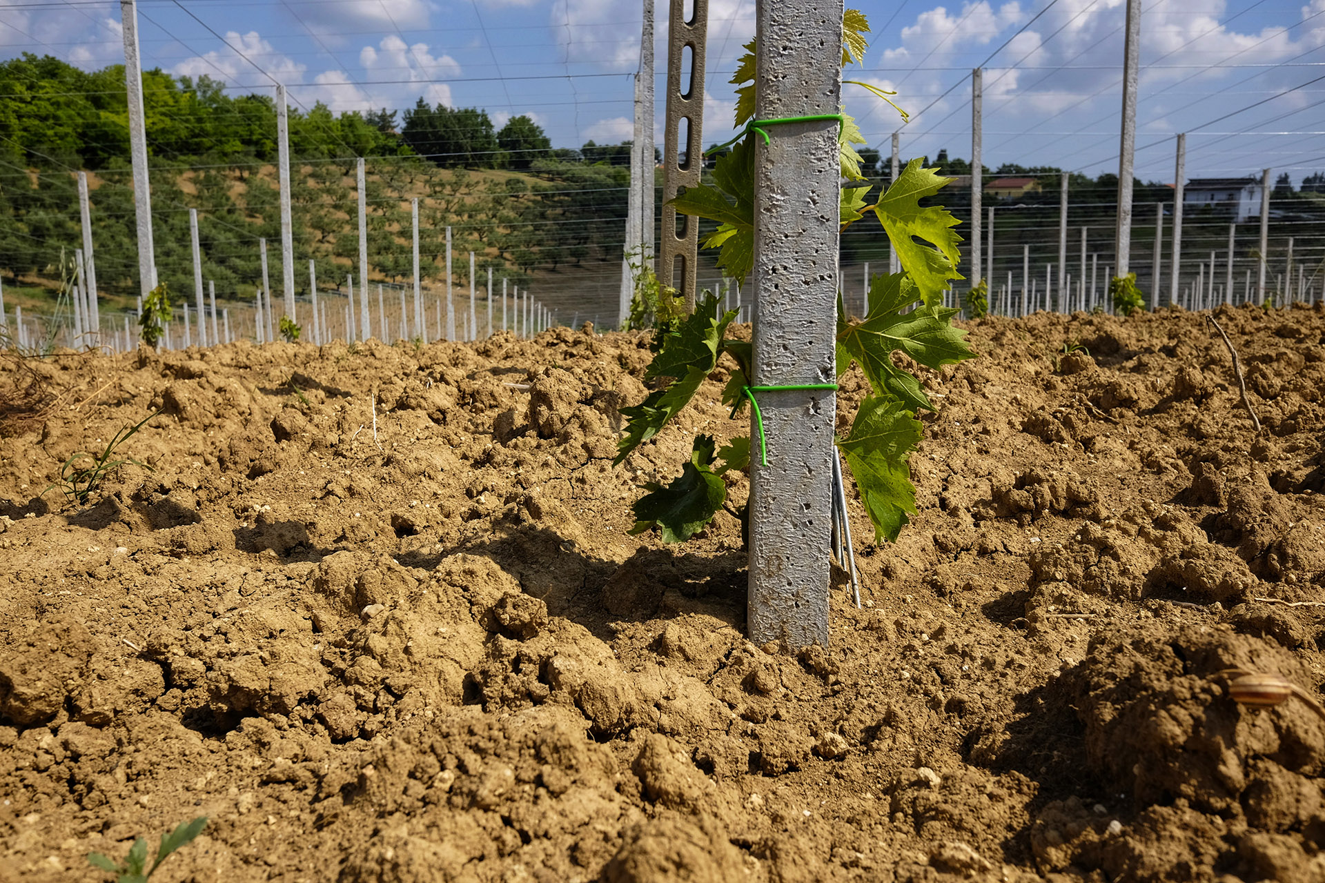 vineyard just planted in Abruzzo