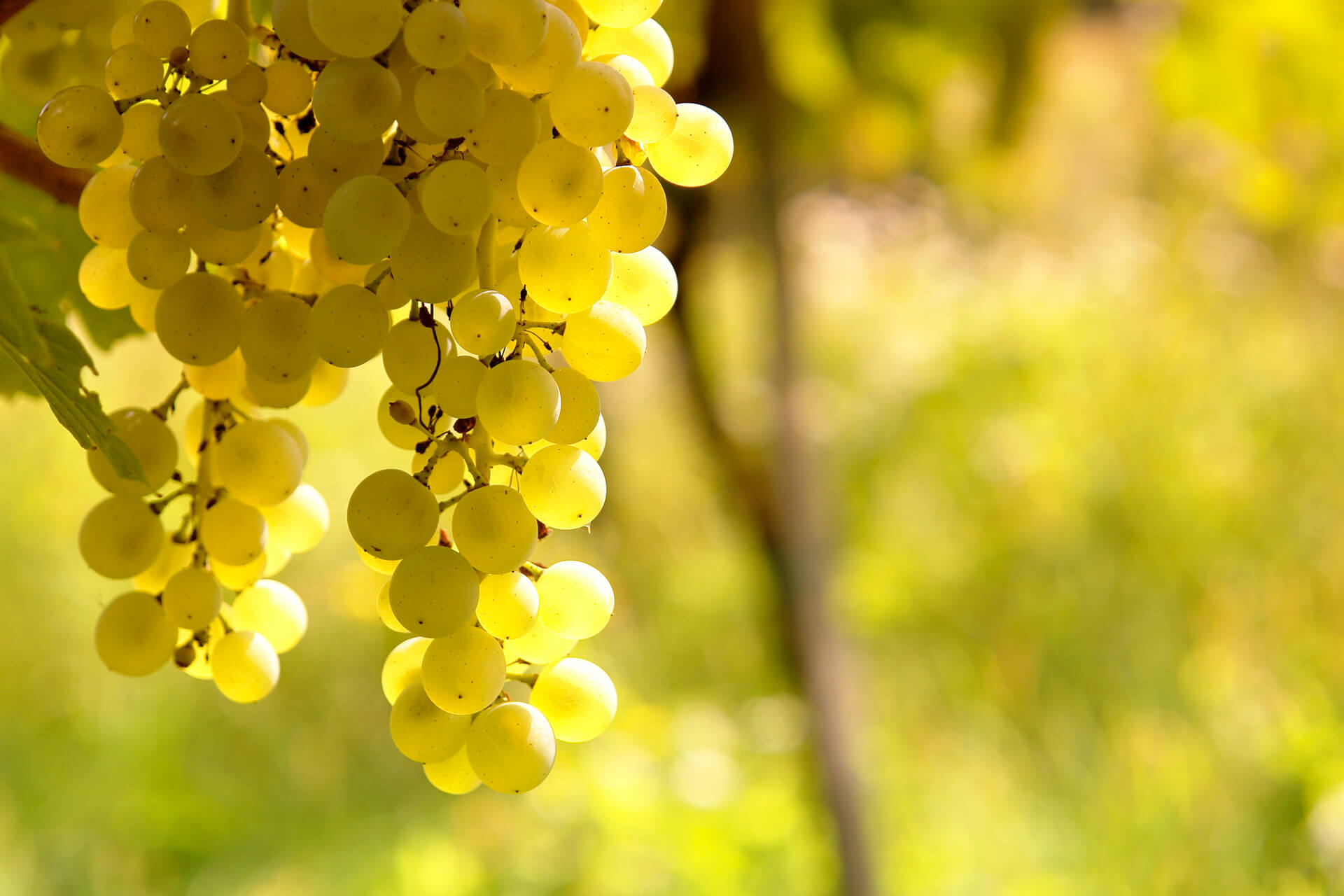 A bunch of ripe Sauvignon Blanc grapes, with the sun backlit