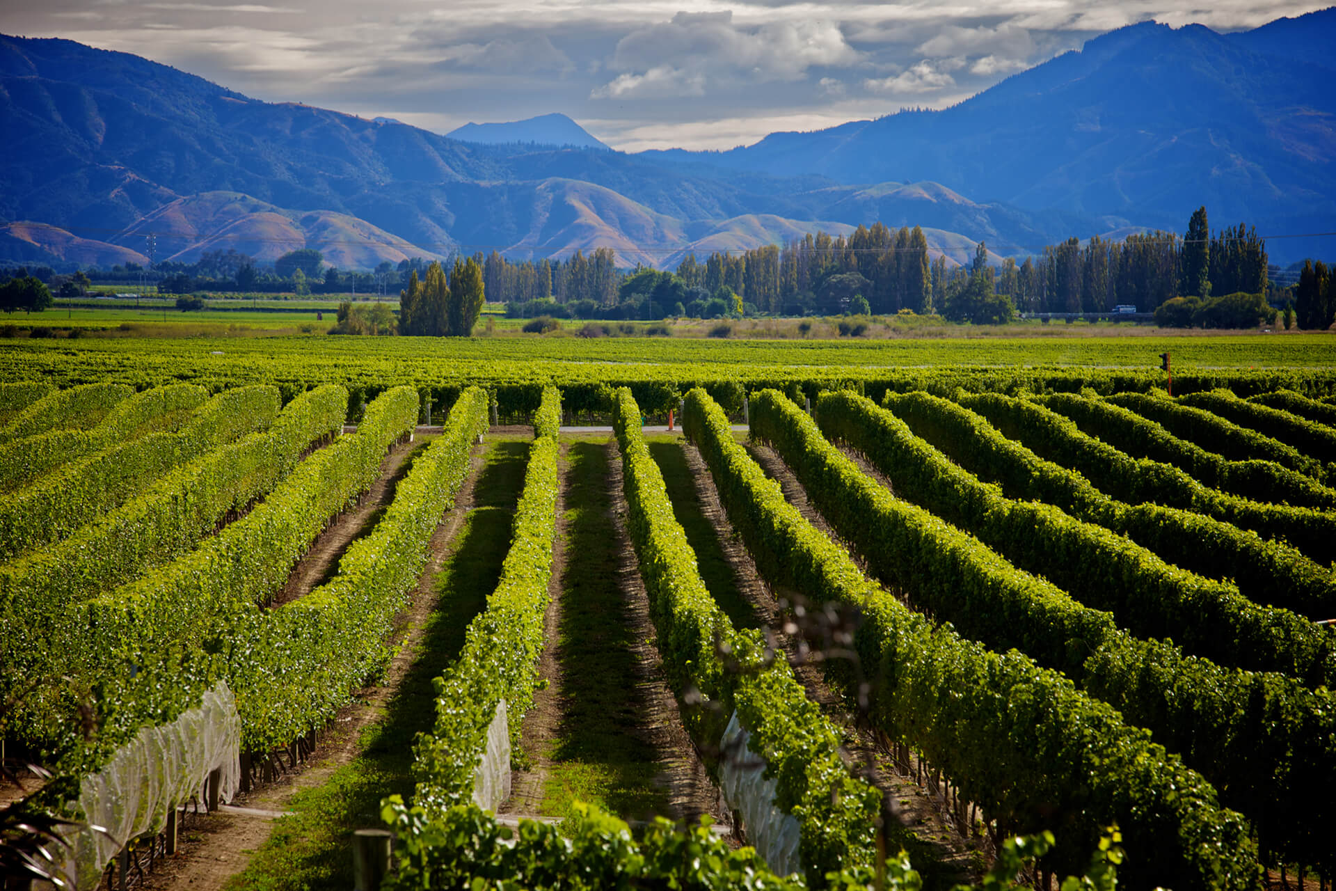 Rows of vineyards perpendicular to camera, mountains in distance
