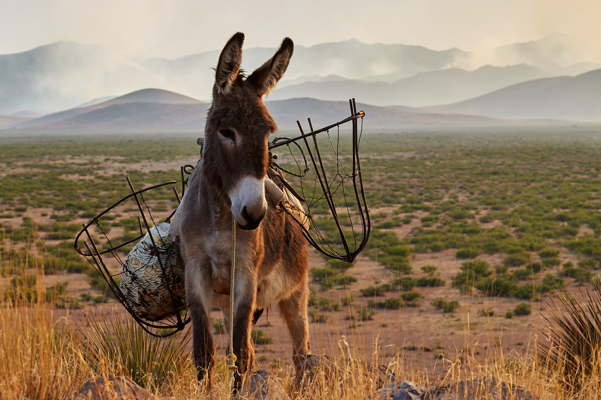 Donkey carrying desert spoon plant