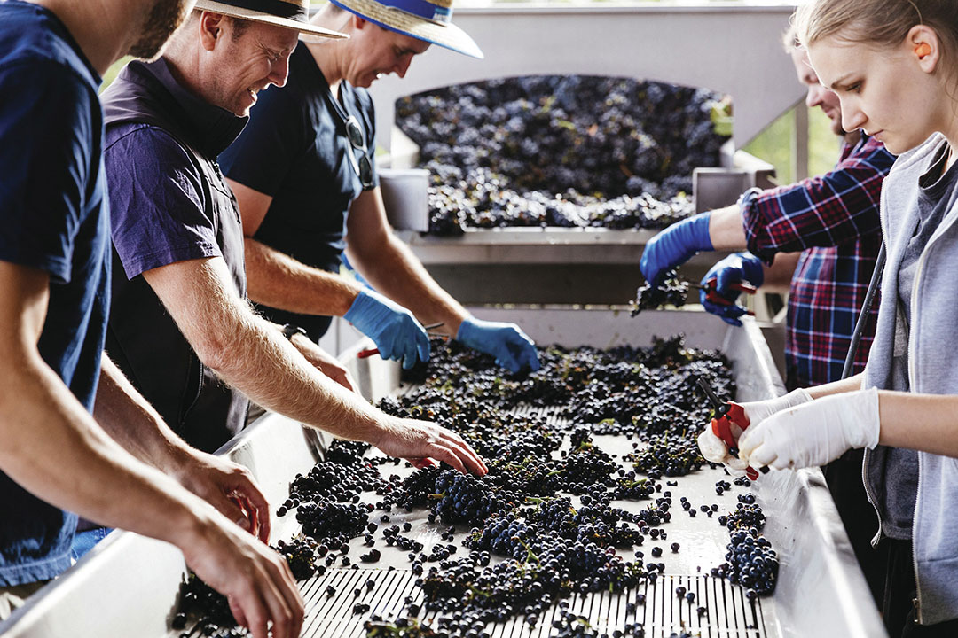Sorting grapes at Shaw + Smith / Photo courtesy Andre Castelluci, Wine Australia