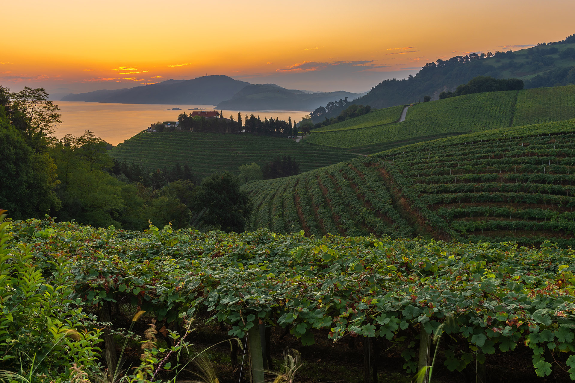Txakoli vineyards at sunrise, Cantabrian sea in the background, Getaria in Basque Country, Spain