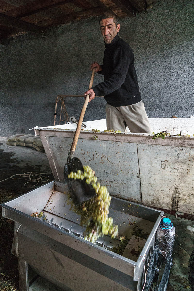 Worker emptying white grapes into crusher at Nodari Wine Cellar, Georgia / Getty