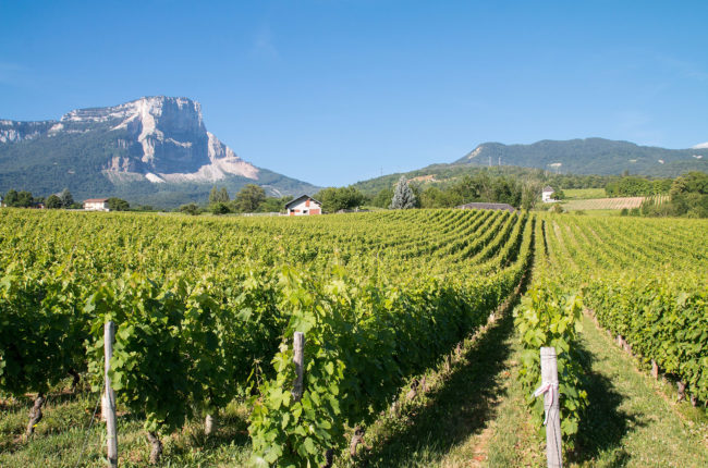 Vineyard with mountain in background