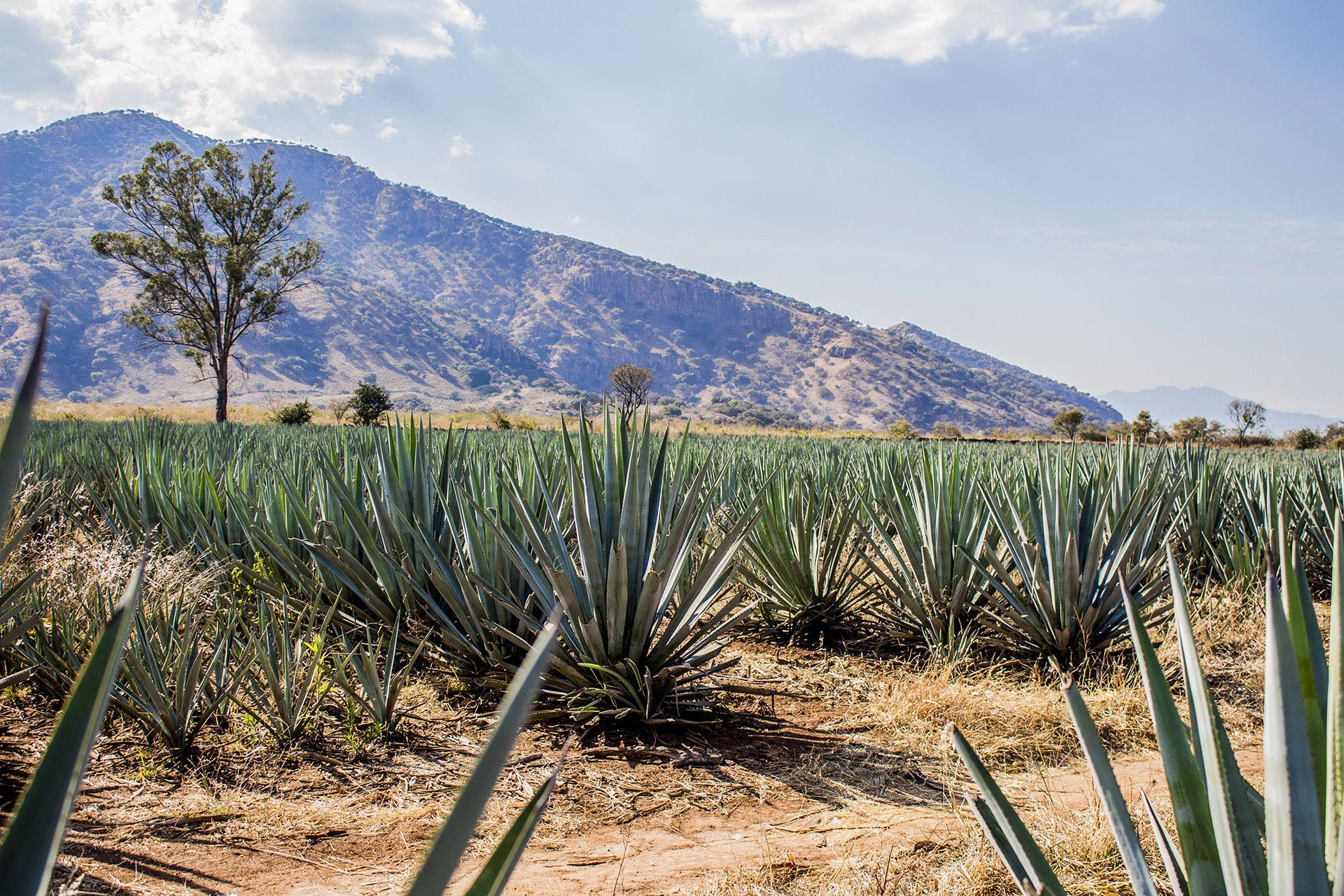 Blue agave waiting to be harvested in Jalisco, Mexico / Getty