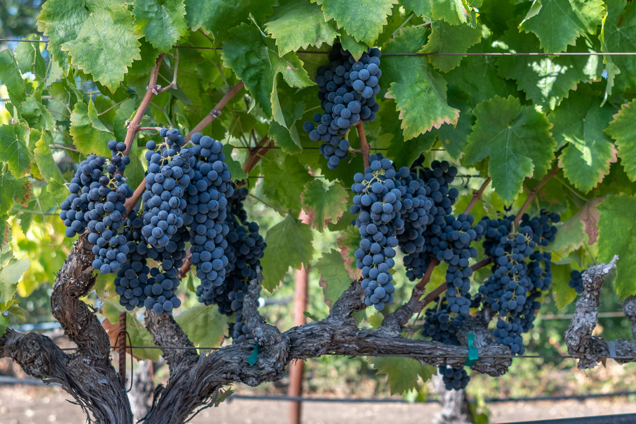 Ripe dark purple grapes hanging on vines