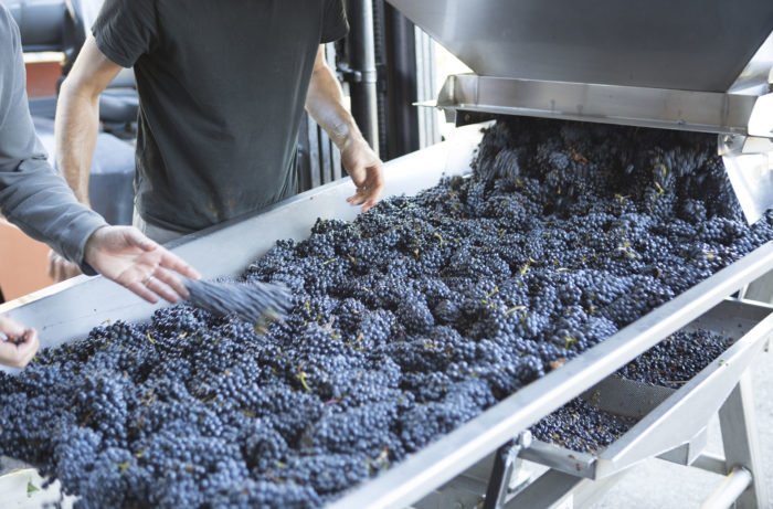 Freshly harvested Pinot Noir grapes from the Willamette Valley, Oregon.