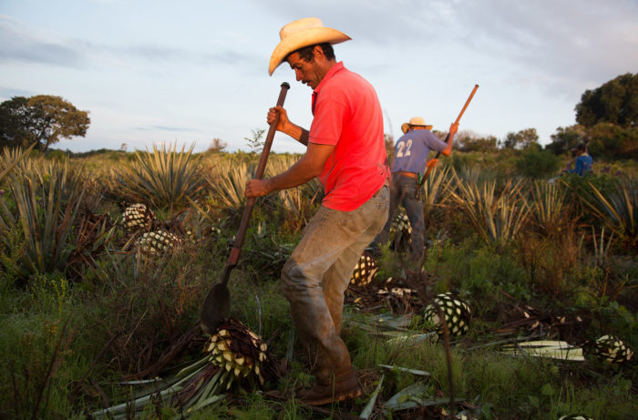 Blue agave being harvested / Photo by Penny De Los Santos