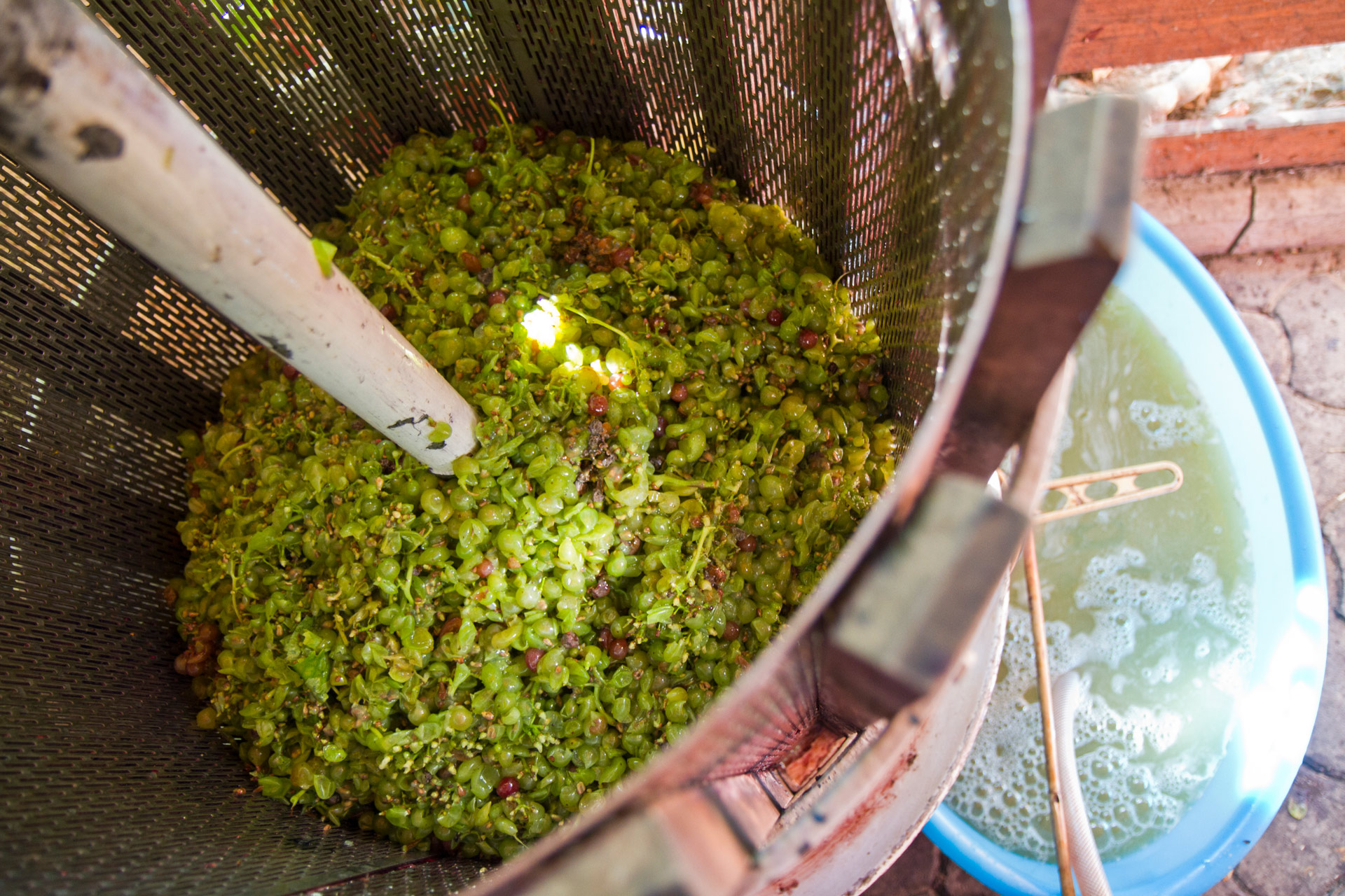 White wine grapes being pressed