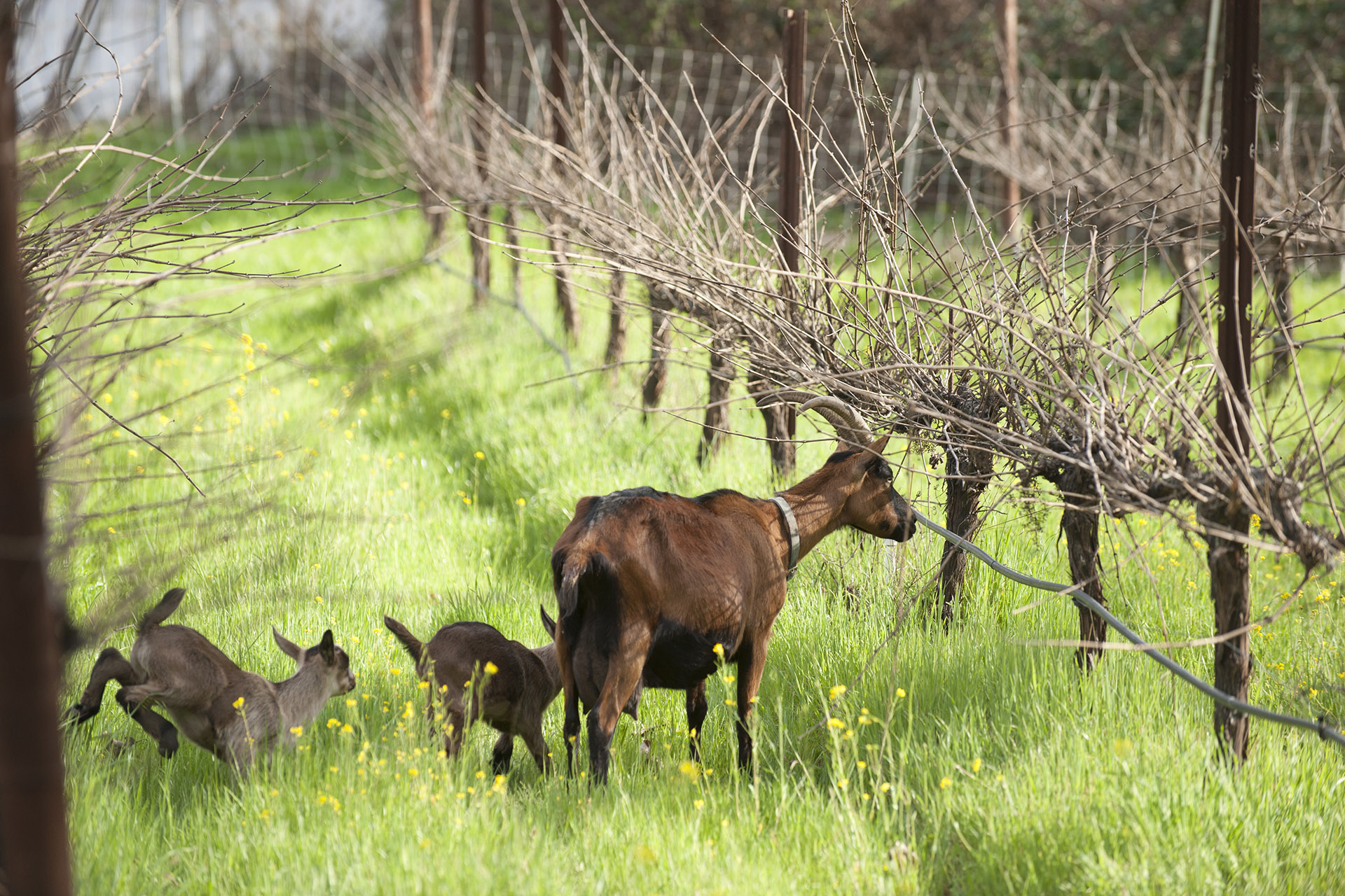 A mama goat with her kids in a barren vineyards / Photo by Nathaniel Frey