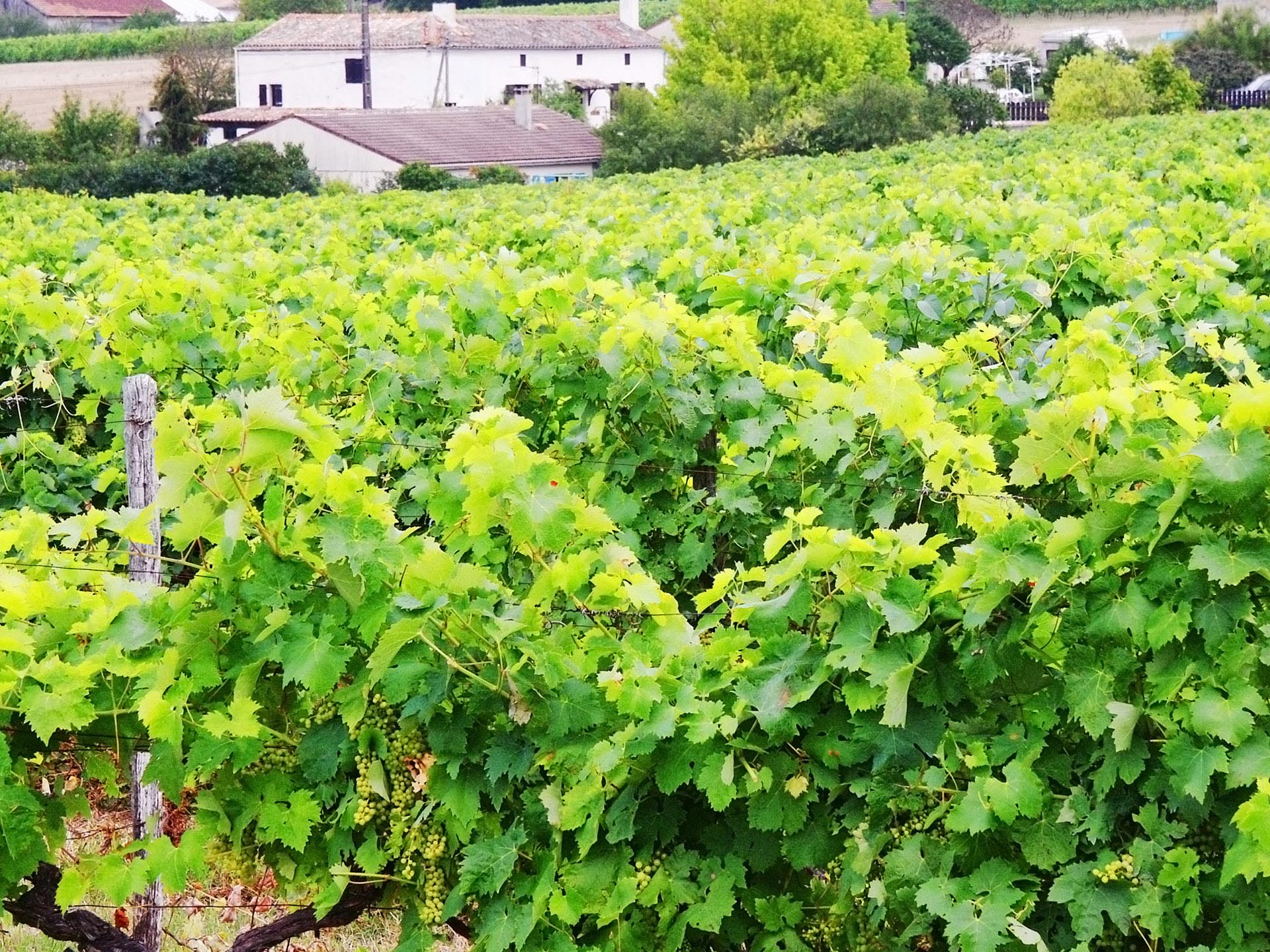 Vineyard in Cognac / Getty