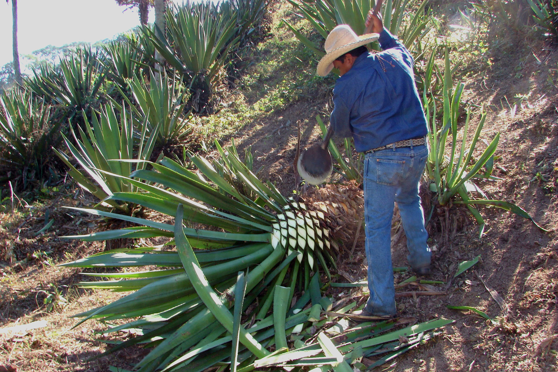 Man in cowboy hat hacked leaves off an agave heart