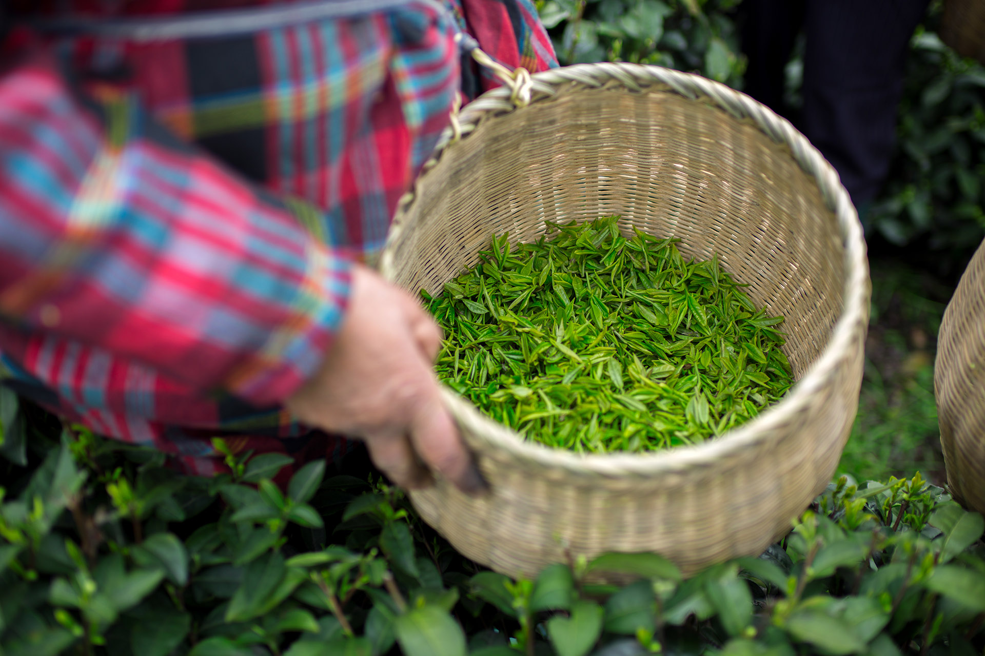 There's no craft tea movement in America (yet)