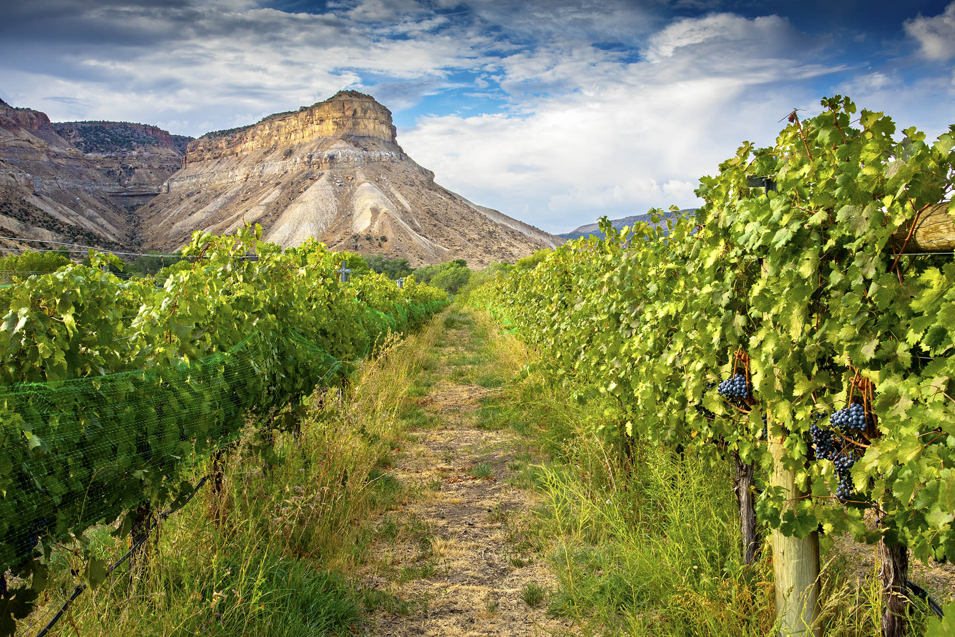 Colorado vineyards in front of Mount Lincoln