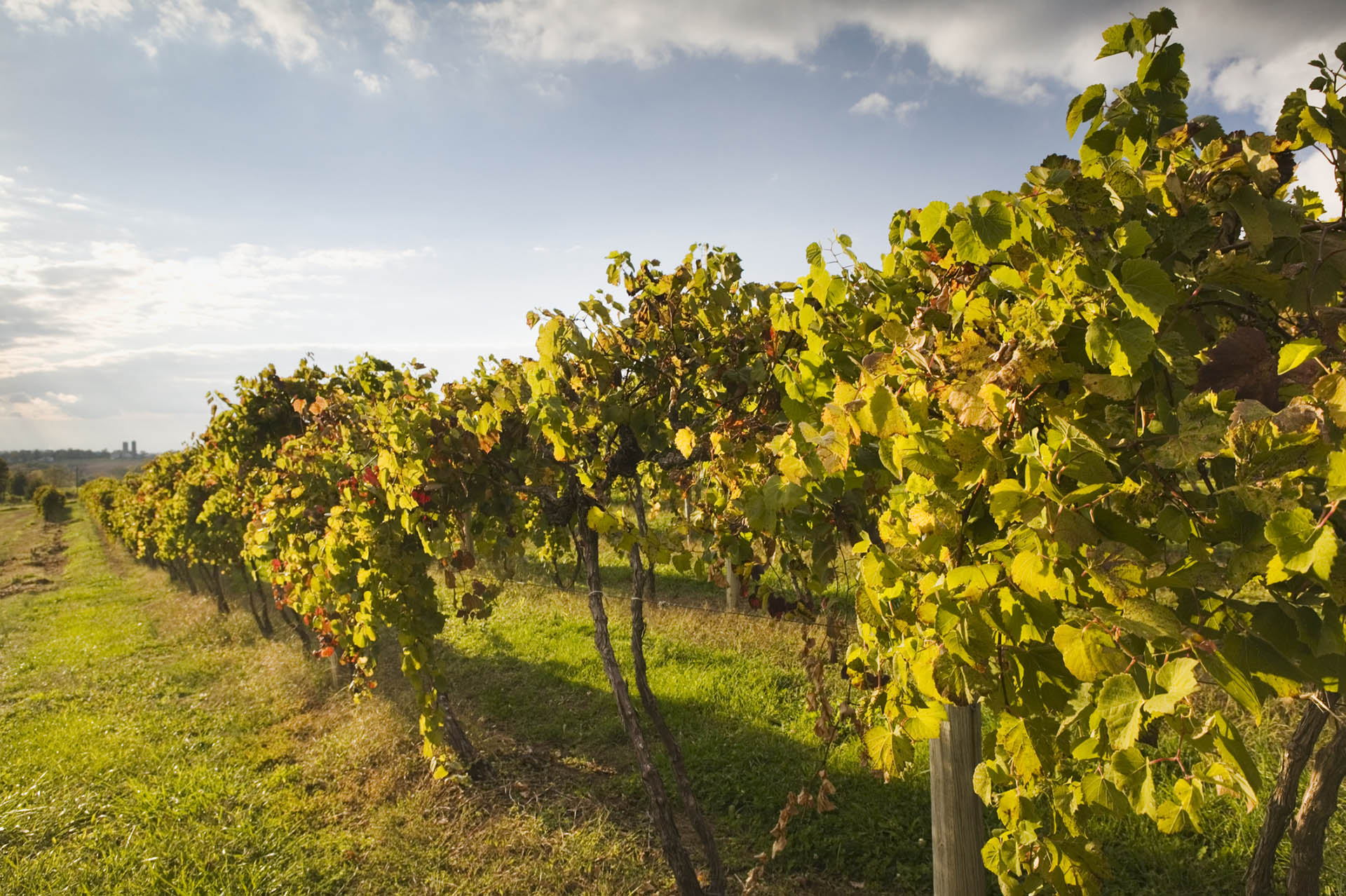Vineyard in Missouri's Augusta AVA, the country's first-ever established American Viticultural Area / Getty