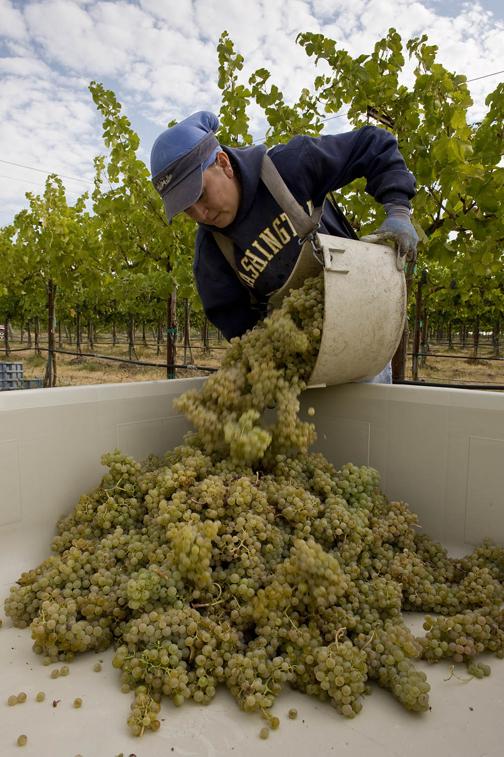 Sémillon being harvested in the Yakima Valley / Photo by Andrea Johnson