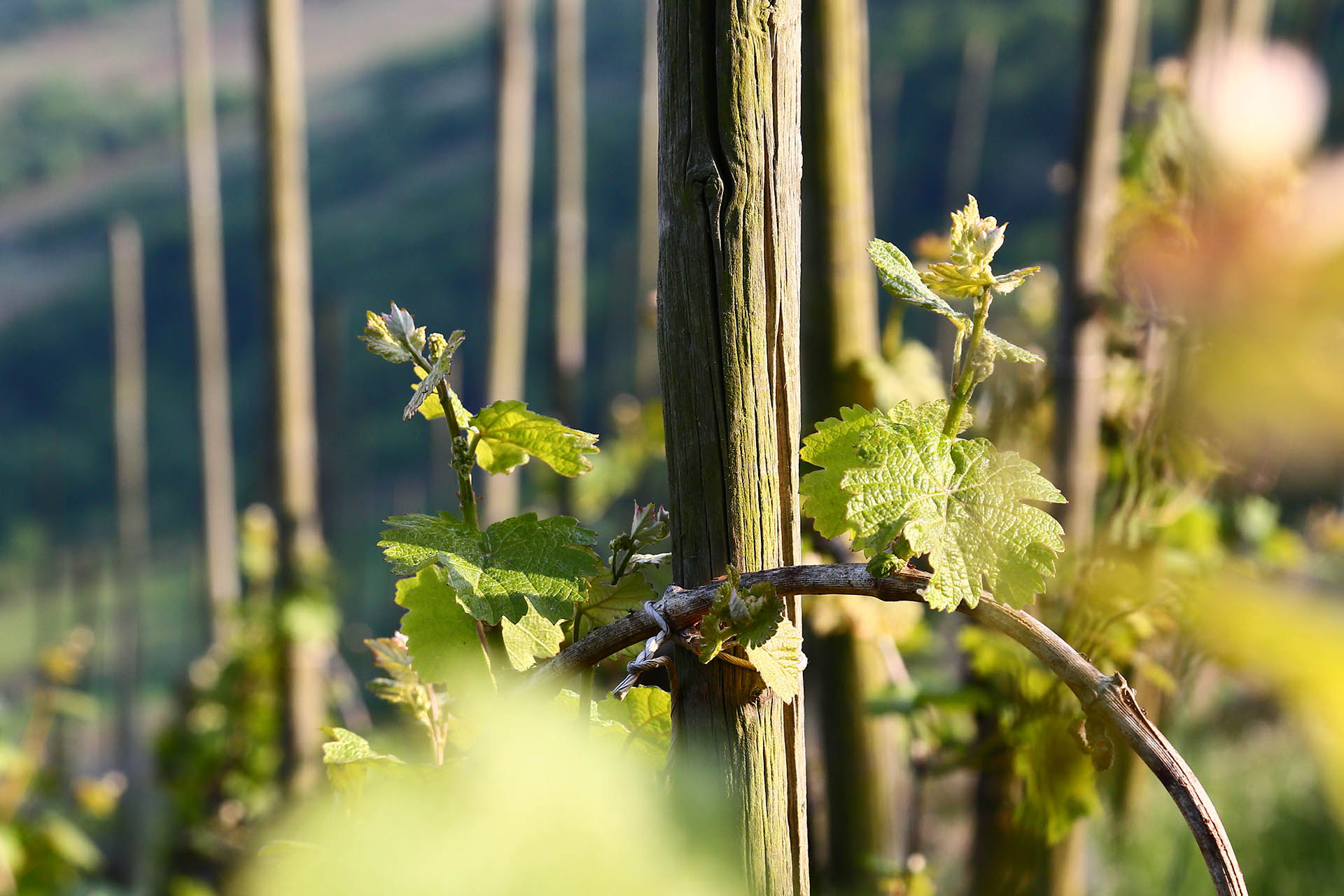 Riesling vines tied to a single stake