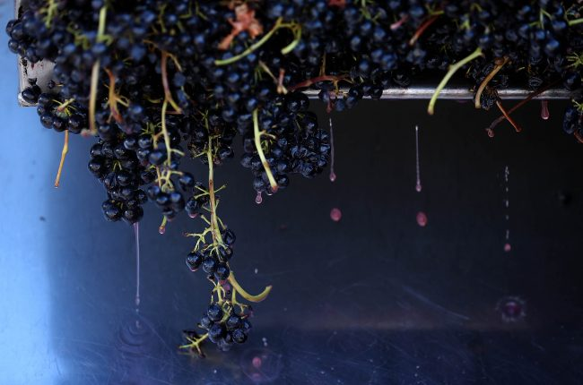 Syrah grapes being pressed