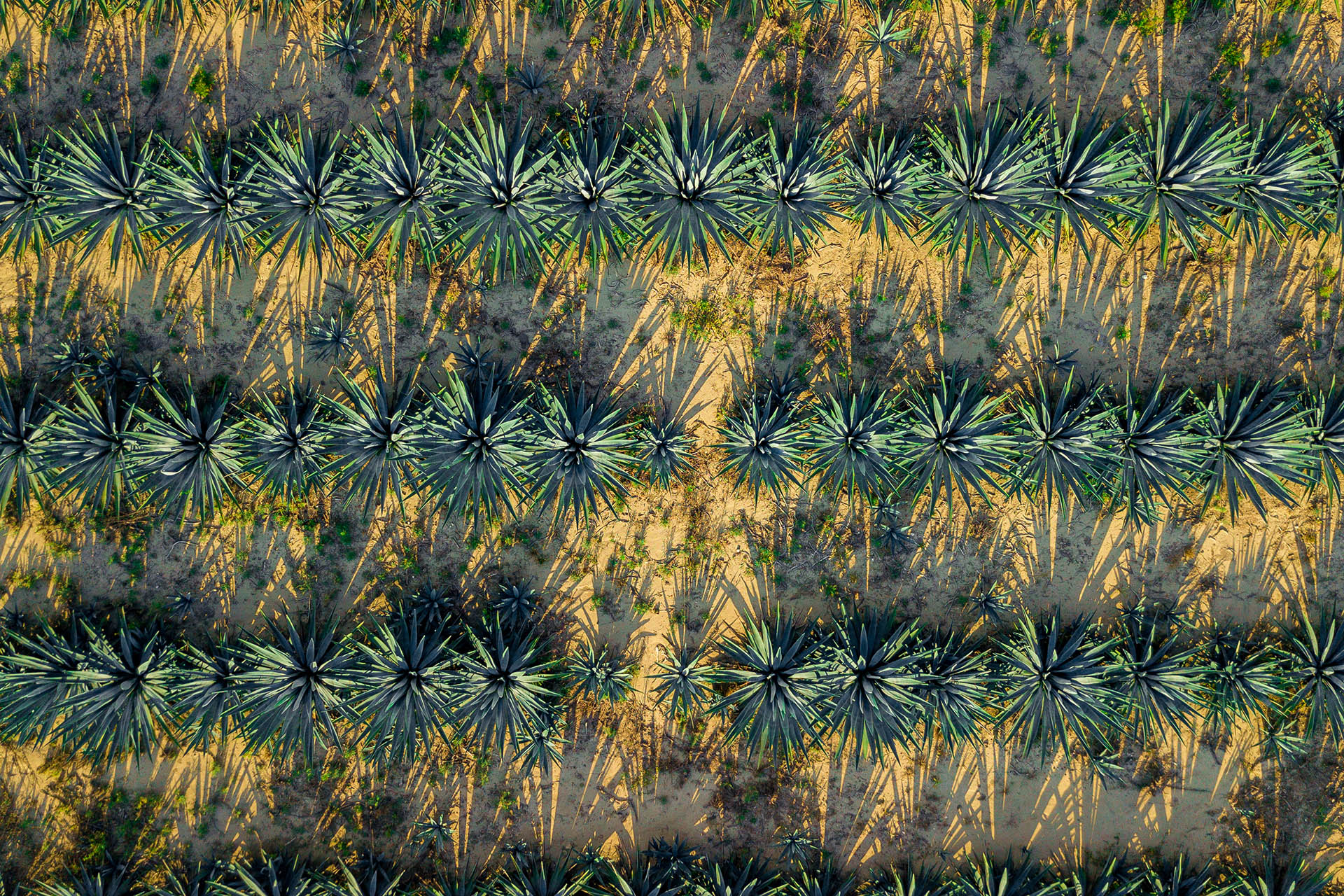 Aerial view agave