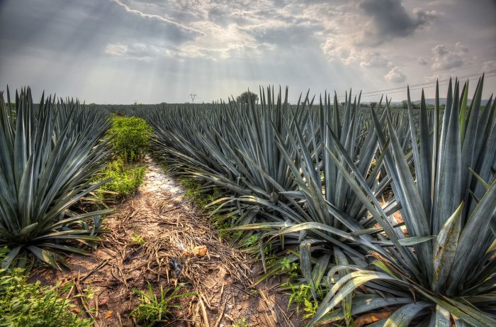 A field of agave plants