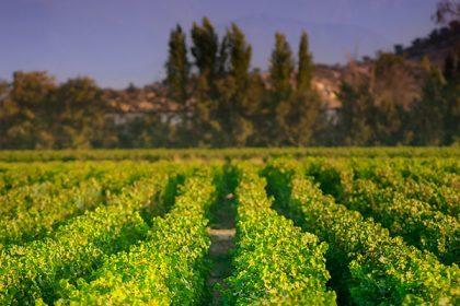 A vineyard in Chile