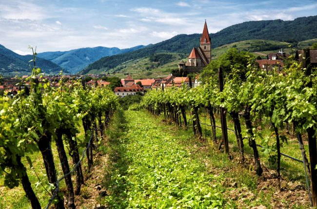 row of Austrian vines with Austrian town in background
