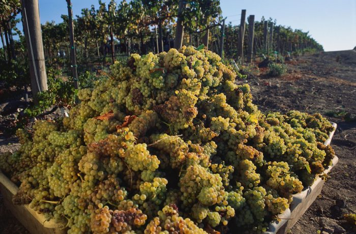 just-harvested Chardonnay grapes