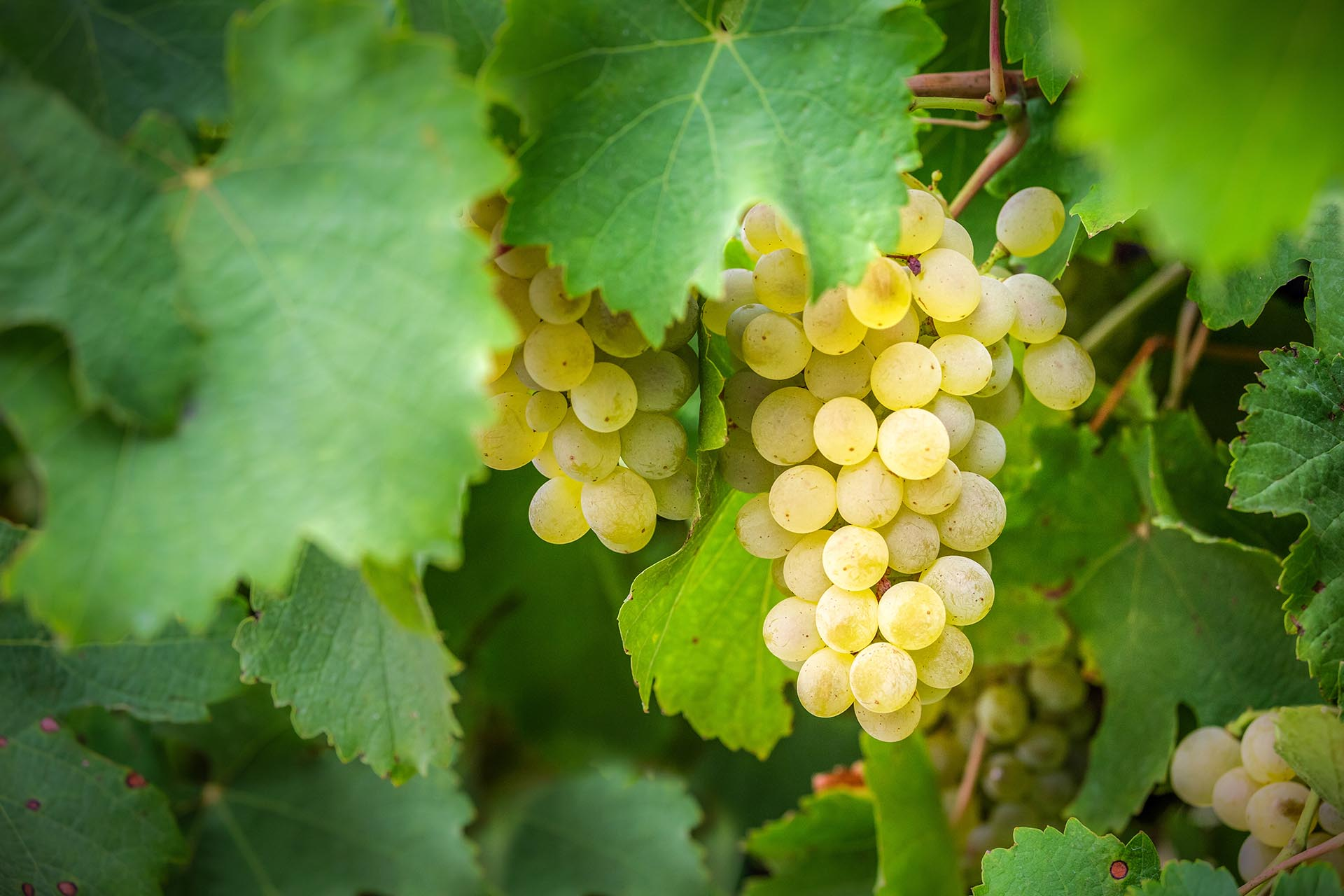Ripe Chardonnay grape bunch hanging on the vine with leaves in Western Australia.